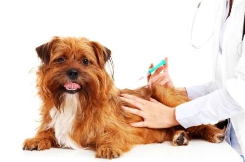 Мальтийская болонка мини: содержание древнейшей породы собак в домашних условиях  